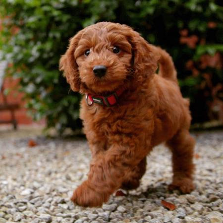 Image 3 of Kennel Club registered Red miniature poodle for stud