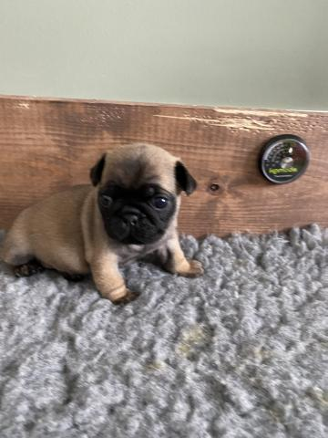 Preview of the first image of Pug puppies.