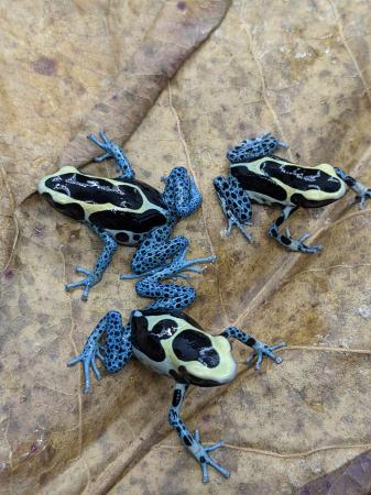Image 3 of dart frog Tinctorius Powder blue