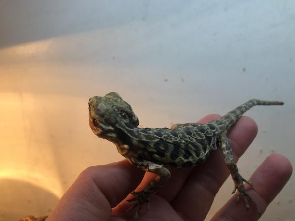 Image 3 of Silk Back Bearded dragons