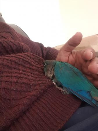 Image 3 of beautiful blue turquoise conures baby