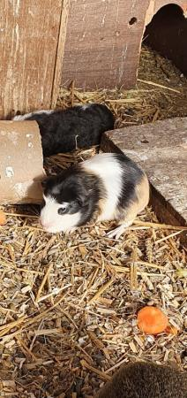 Image 4 of guinea pigs babies ready now
