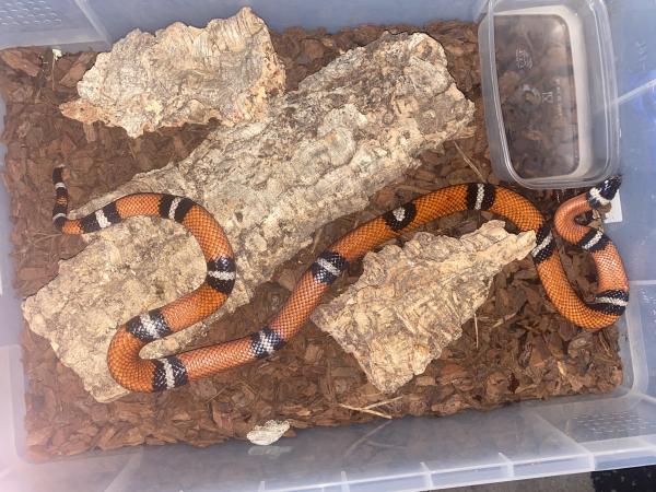 Image 1 of Sinaloan Milk Snake