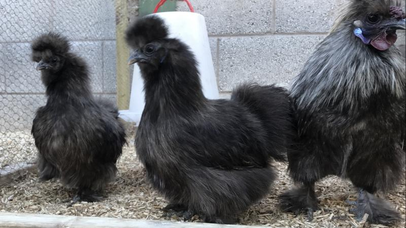 Image 11 of Silkie, Silkie Hatching eggs, poultry feed