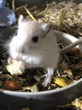 Image 3 of Baby gerbils (males and females)