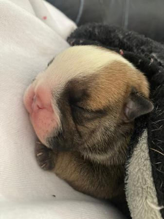 Image 12 of British bulldog puppies