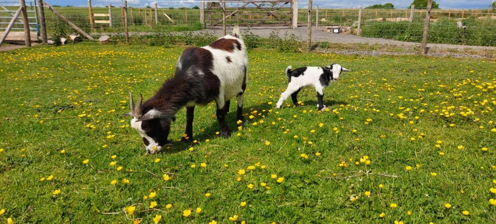 Image 3 of Pygmy Goat Nannie with kid