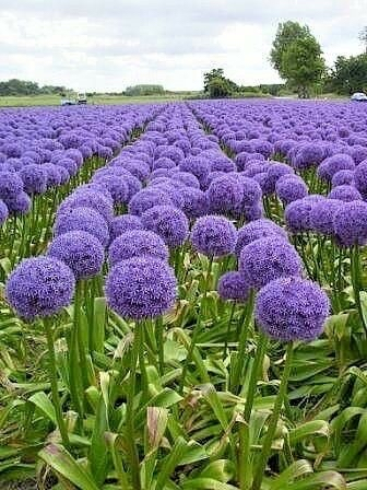 Preview of the first image of GIANT RARE ALLIUM PURPLE SENSATION X 10 SEEDS.