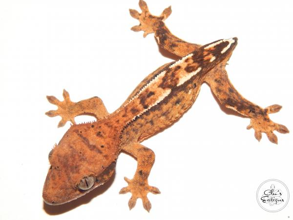 Image 2 of Unsexed partial pin harlequin crested gecko