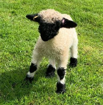valais blacknose - Sheep - Ewes & Rams, Rehome Buy and Sell | Preloved
