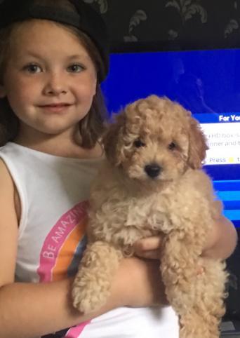 toy or teacup poodle - Pets | Preloved