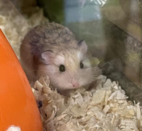 Image 1 of Baby roborovski hamsters