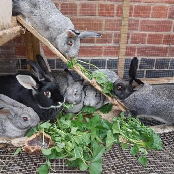 new zealand - Rabbits, Rehome Buy and Sell | Preloved