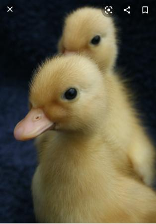 Image 1 of wanted: call duckling