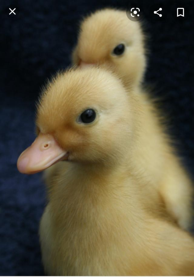 Preview of the first image of wanted: call duckling.