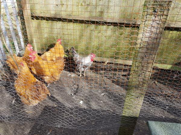 Image 2 of Cockerels Free
