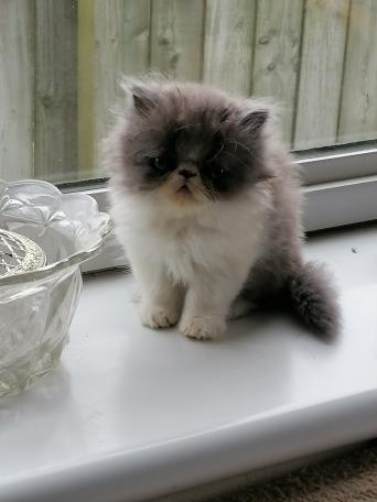 Cats Kittens For Sale In Middlesbrough Preloved