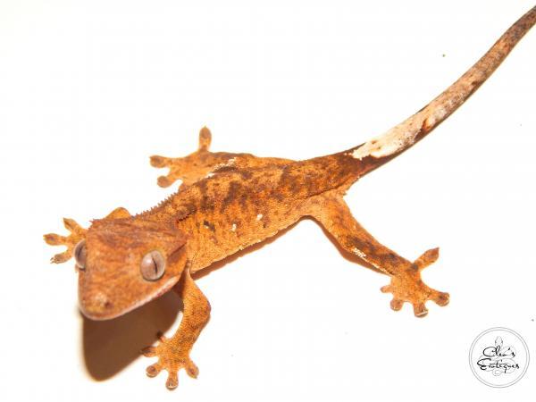 Image 3 of Unsexed orange brindle Crested Gecko