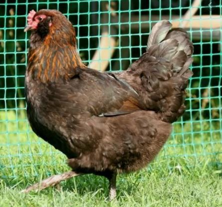 Image 15 of Point of Lay Chickens for Sale
