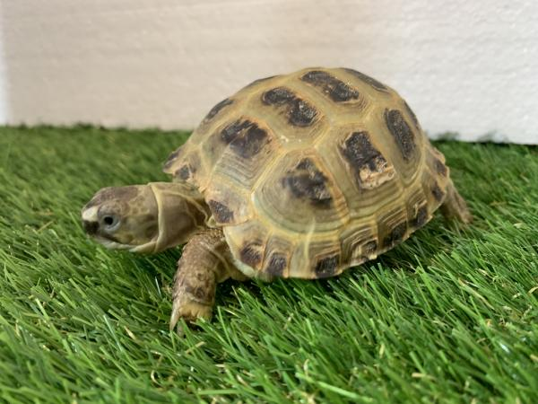 Image 5 of Baby Horsfield tortoise and brand new complete setup