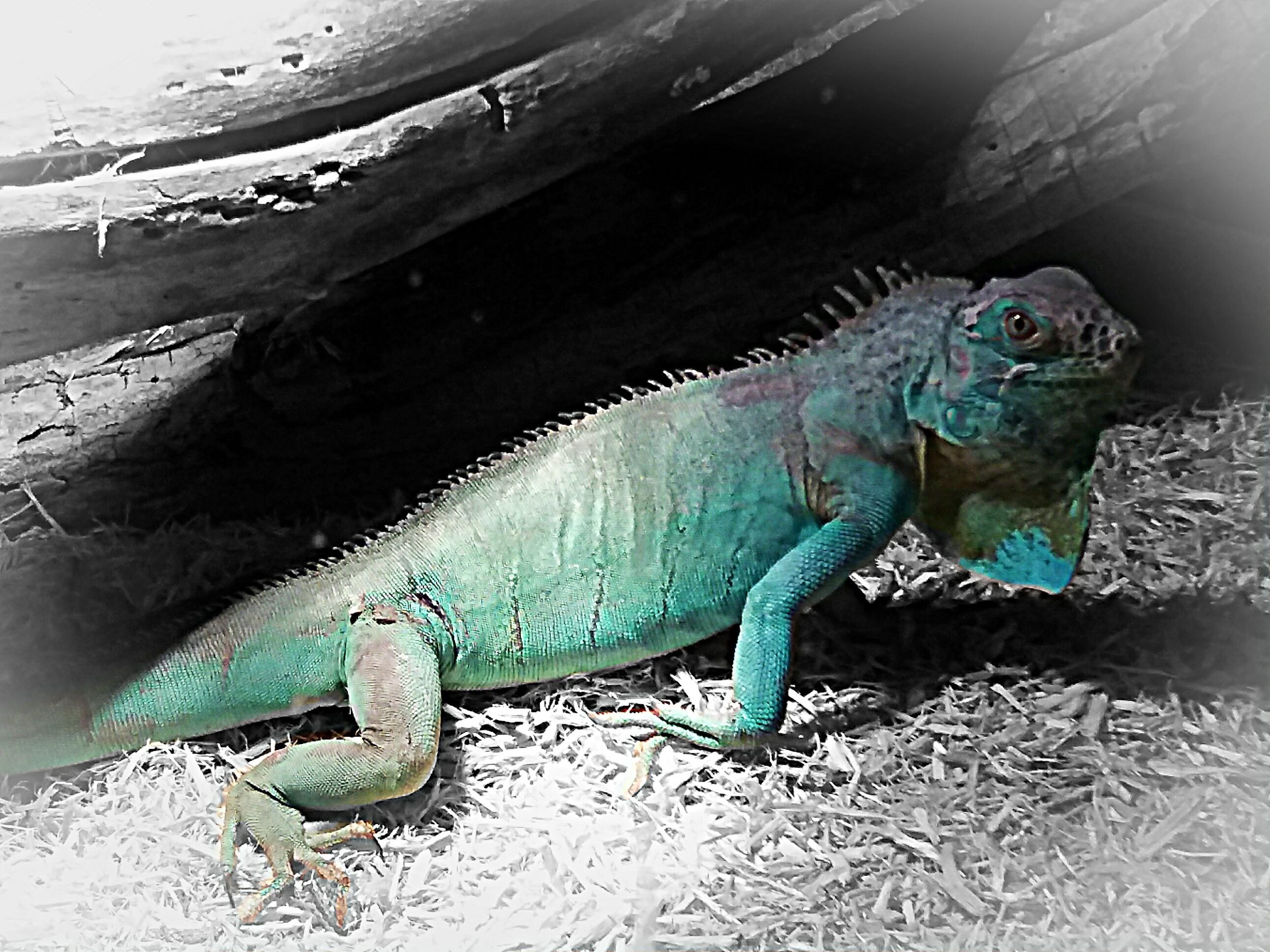 Blue Iguana For Sale : Blue iguana for sale in muntinlupa city national capital region