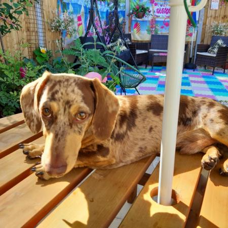 Image 1 of MINIATURE DACHSHUND  FOR STUD