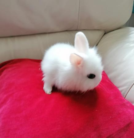 Image 1 of baby lion head rabbit for sale