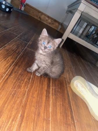 Image 2 of Chinchilla persian cross kittens