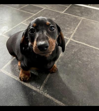 Image 1 of Miniature dachshund puppy