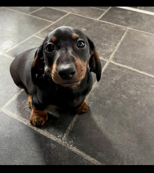 Preview of the first image of Miniature dachshund puppy.