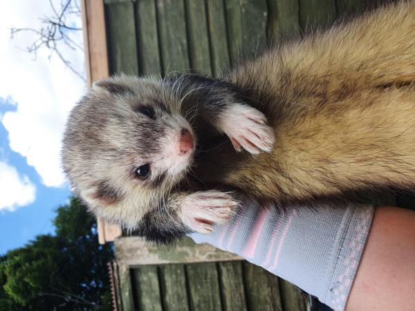 Image 6 of ferret and pet microchipping
