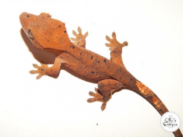 Image 2 of Unsexed orange Dalmatian crested gecko