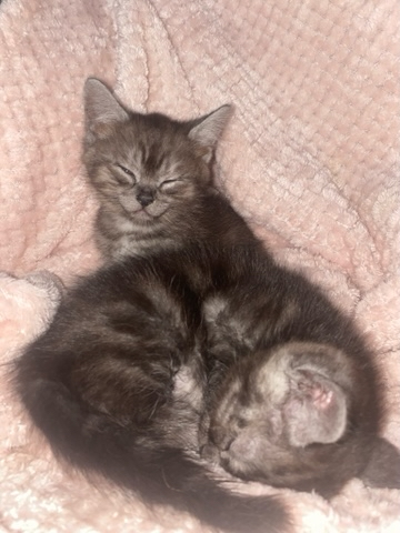 Preview of the first image of Chinchilla persian cross kittens.