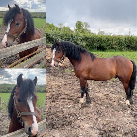 Image 1 of Welsh c stallion by Moorcroft The Master