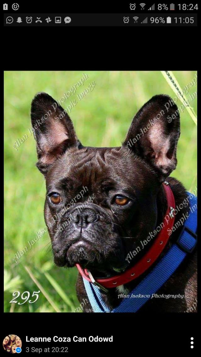 French bulldog puppies mix litter For Sale in Wigan | Manchester