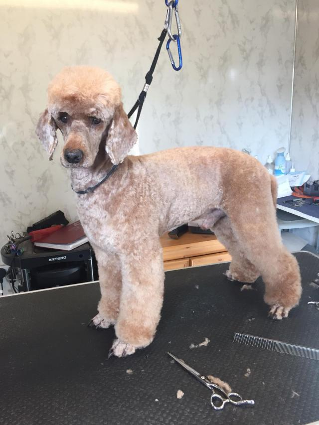 Preview of the first image of KC apricot miniature poodle.