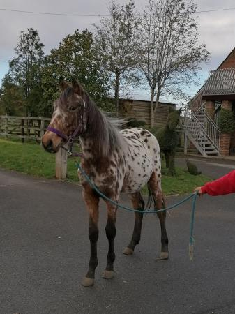 Image 2 of Project Horses, Ponies, Shetlands. Spotted Sports Horses