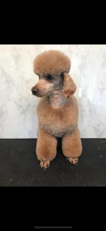 Image 2 of Kc registered Red Toy poodle