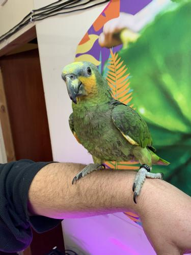 Hand reared hahns macaws
