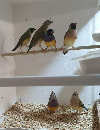 Image 3 of Gouldian Finches for Sale