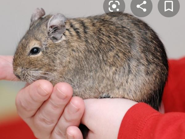 Image 2 of Wanted - Gerbil and/or Degu