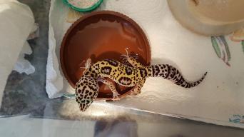 mack snow leopard gecko - Reptiles, For Sale | Preloved