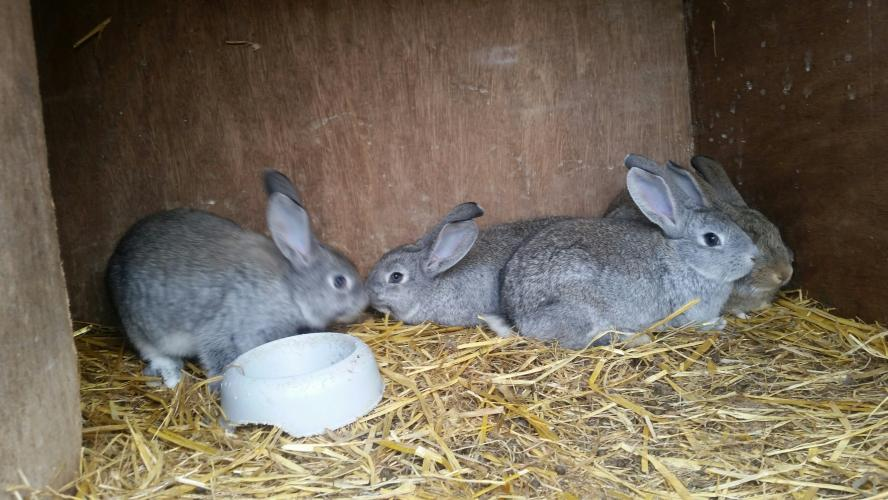 Giant Chinchilla Cross Continental Rabbits For Sale In