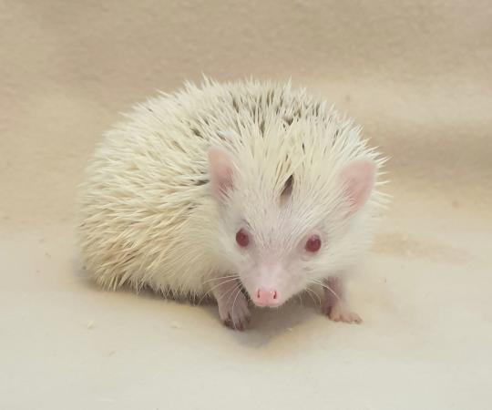 Image 1 of African Pygmy Hedgehog - Stunning Cinnamon Reverse Pinto