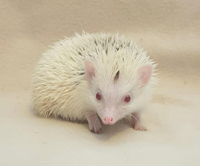 Preview of the first image of African Pygmy Hedgehog - Stunning Cinnamon Reverse Pinto.