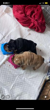 Image 6 of British bulldog puppies