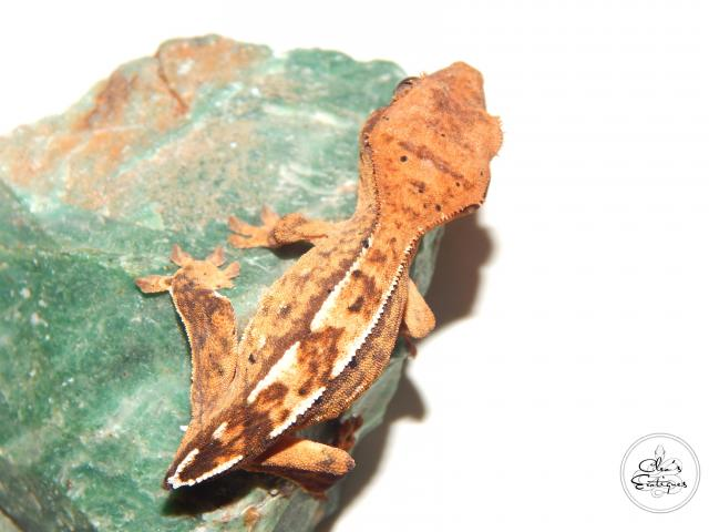 Preview of the first image of Unsexed partial pin harlequin crested gecko.