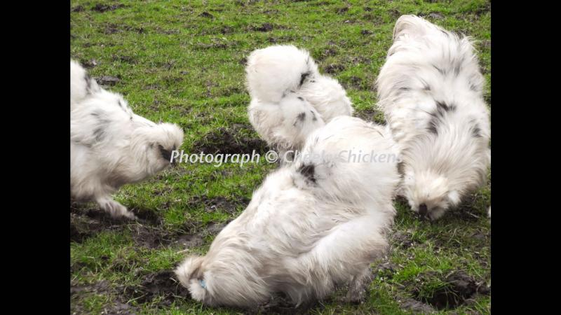 Image 2 of Hatching Eggs For Sale Silkie Thuringian Sizzle
