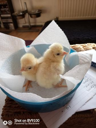 Image 3 of White crested Black and Splash Poland Chicks available