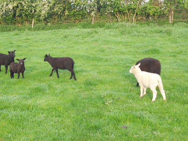 Image 1 of Weaned ram lambs 12 weeks aprox.